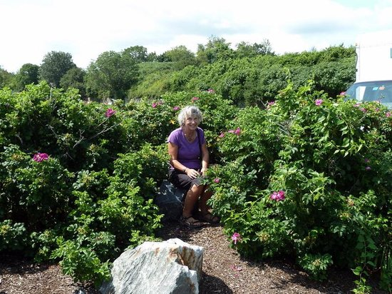 Fort Williams Park:                   Wild roses in season