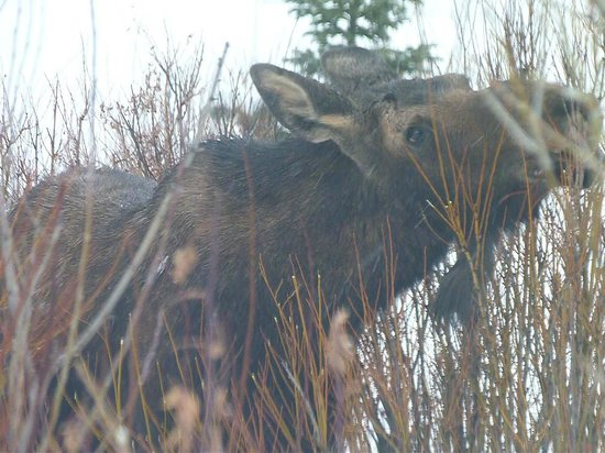 320 Guest Ranch:                                     Moose Outside The Mcgill Cabin