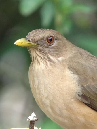 Casa Santa Ana Bed & Breakfast:                   clay colored thrush at B&B