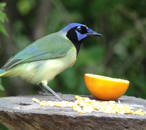 Casa Santa Ana Bed & Breakfast: green jay at B&B feeder