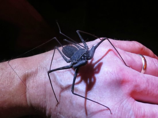 The Night Tour with Tracie The Bug Lady:                   Tailless Whip Scorpion, The Night Tour