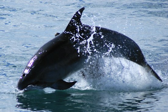 Fullers GreatSights Bay of Islands Day Tours:                   Dolphin seen on trip