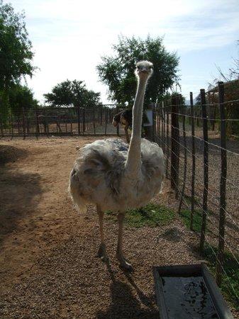 Safari Ostrich Show Farm:                   Albino ostrich - Lady Gaga!