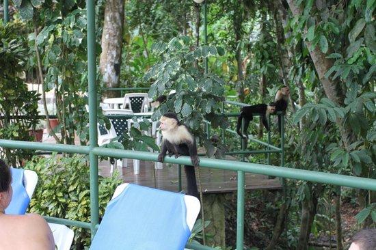 Byblos Resort & Casino : Monkey visit at the pool