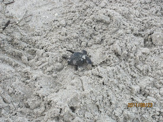 Stuart, Floryda: hatchling at ocean's edge