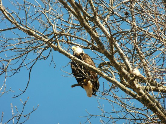 Fort Donelson National Battlefield: A bald eagle resting in a tree