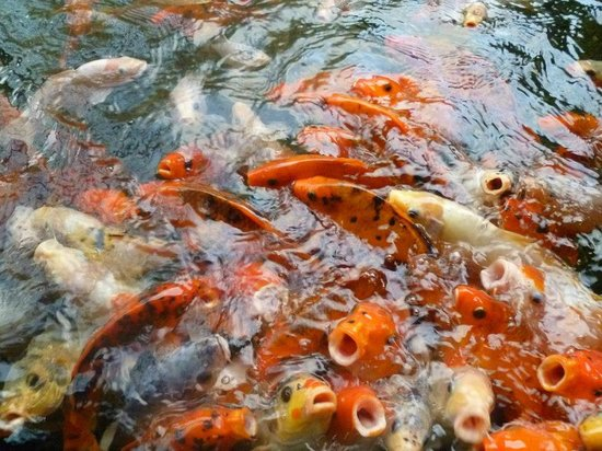 Padma Resort Legian:                                     feed the fish time!!