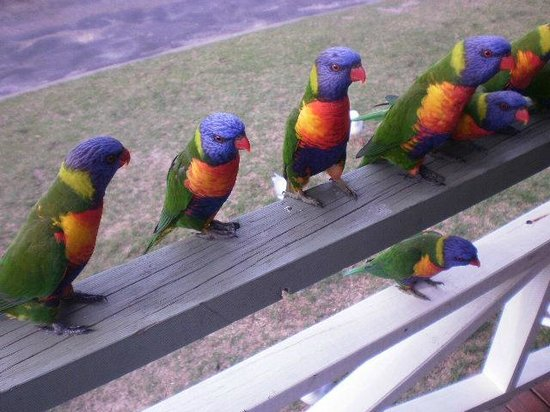 NRMA Merimbula Beach Resort and Holiday Park:                   BEAUTIFUL BIRDS