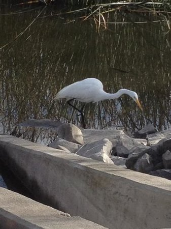 San Joaquin Wildlife Santuary:                   egret fishing for breakfast