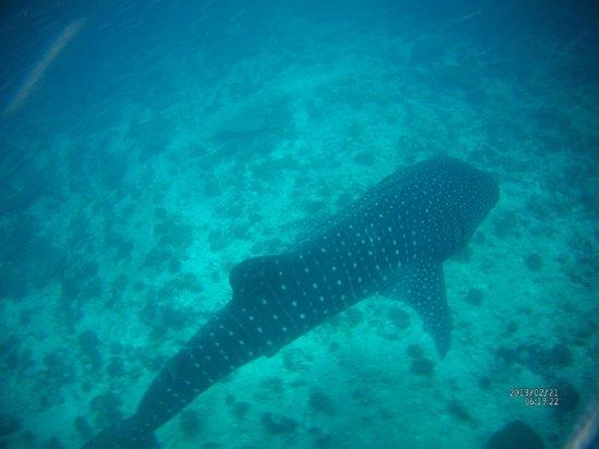 Maafushivaru: sortie requin baleine
