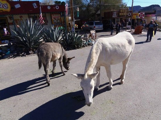 Harrah's Laughlin:                   town of Oatman ... must visit!
