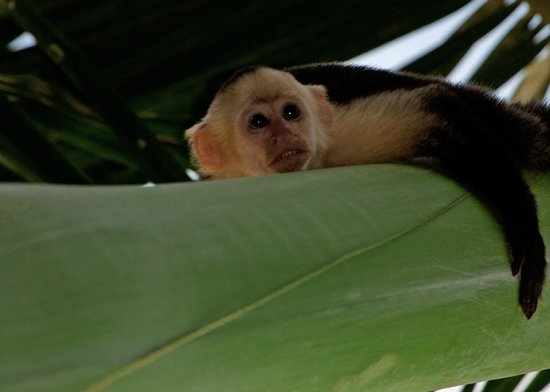 Bosque del Cabo Rainforest Lodge:                   capuchin on property
