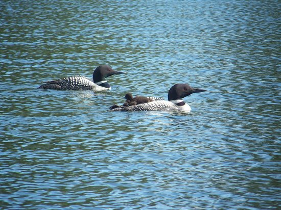 Loon family spotted while bird watching near Brainerd MN
