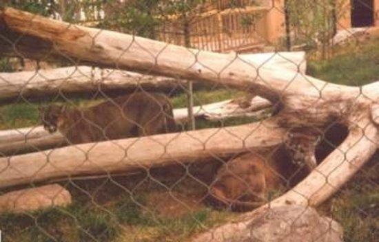 Alameda Park Zoo:                                     Mountain Lions