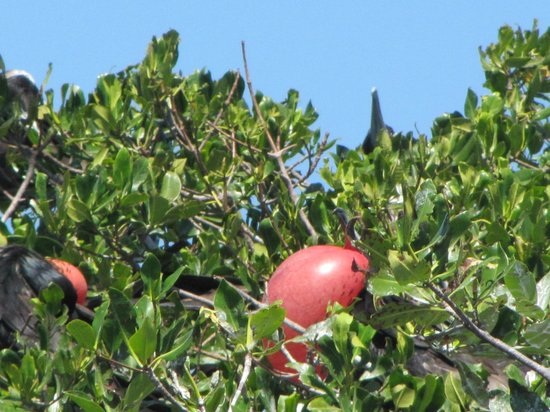 Coco Plum Island Resort:                                     Local birdwatching - Frigates in mating season
