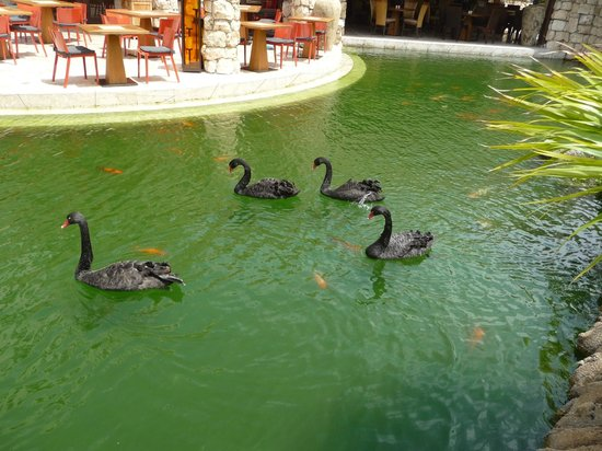 Hyatt Regency Aruba Resort and Casino:                   Black swans in water wrapping around property restaurant