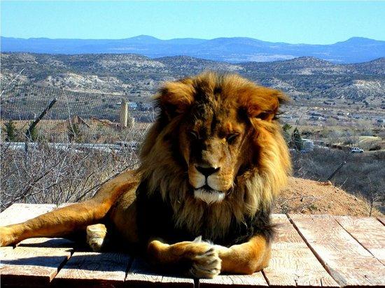 Camp Verde, AZ:                   Lion
