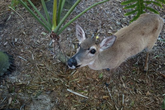 Little Palm Island Resort & Spa, A Noble House Resort:                   sweet endangered Key Deer