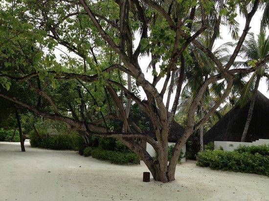 Four Seasons Resort Maldives at Kuda Huraa:                   beautiful trees