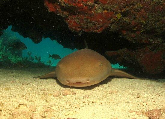 Horizon Divers:                   Nurse Shark