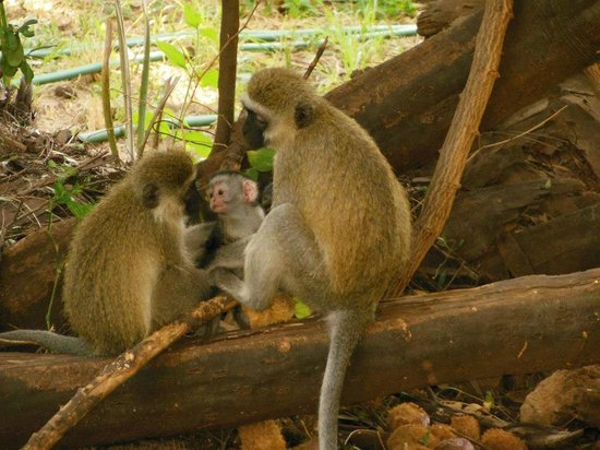 Larsens Camp:                   Just a few of the monkeys around camp