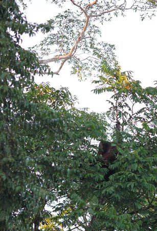 Borneo Nature Lodge: Wild Orangutan