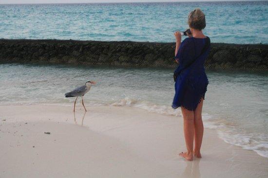 Kuramathi Island Resort: heron