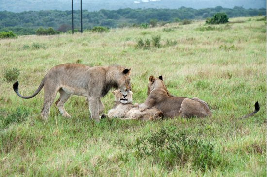 Kariega Game Reserve - All Lodges:                   Ran into these young lions playing one morning.