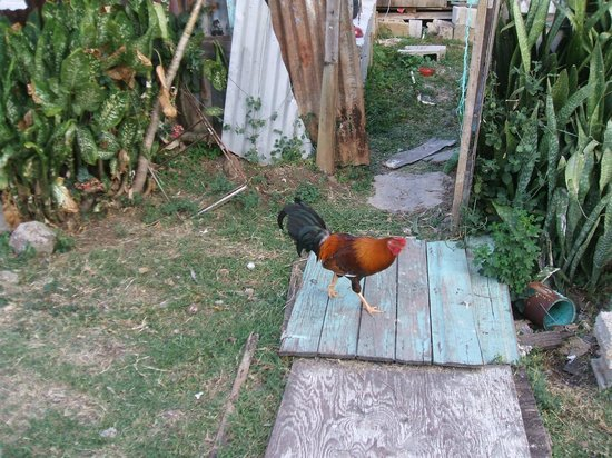 Tropical Breeze Guest House:                                     Rooster near the grounds of the guesthouse