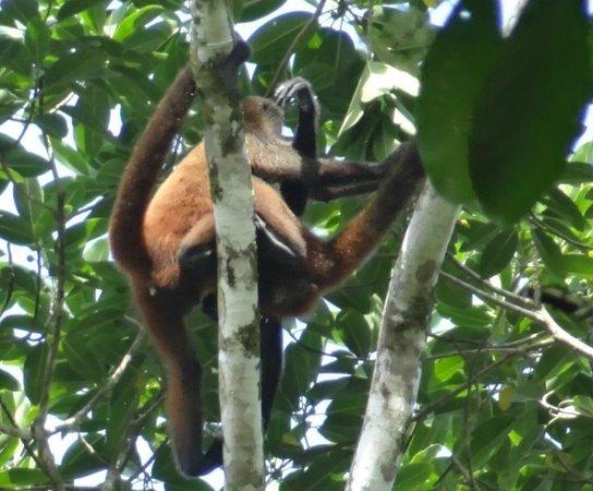 Drake Bay, Costa Rica: Tico Esteban tour of Corcovado NP - endangered Squirrel Monkey - we saw several