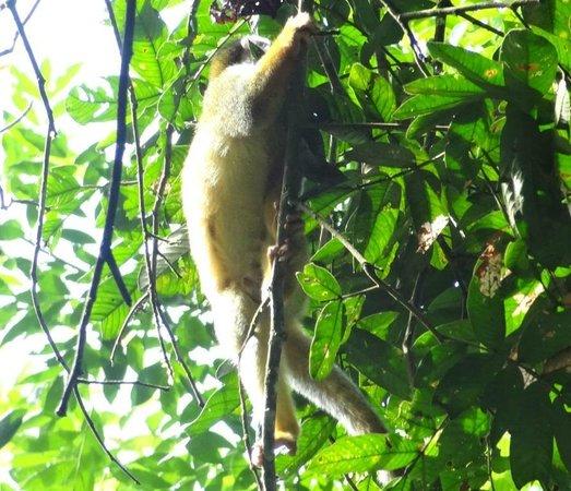 Drake Bay, Costa Rica: Tico Esteban tour of Corcovado NP - Tamandua climbing tree