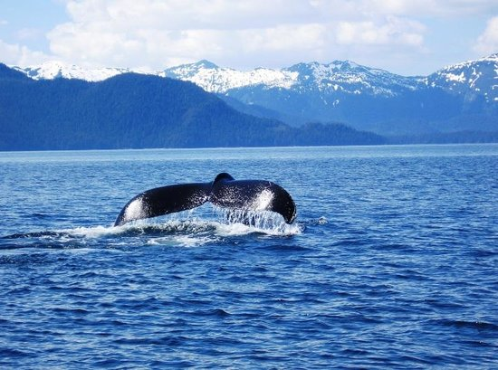 Baranof Wilderness Lodge :                   A humpback whale fluking just out form the lodge!