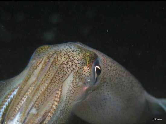 ‪‪Nanaimo‬, كندا: opalescent squid‬