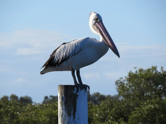 Boathouse Resort Tea Gardens: Pelican