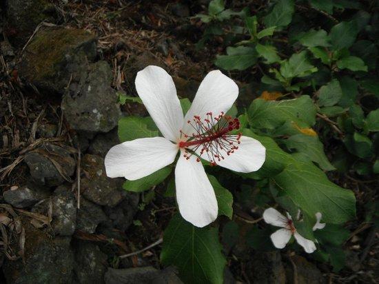 Amy B.H. Greenwell Ethnobotanical Garden : native fragrant hibiscus