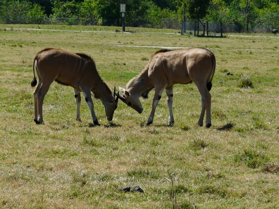 Lion Country Safari:                   Elands