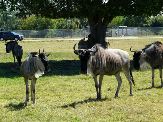 Lion Country Safari:                   Wildebeest