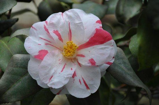 Lyman Estate Greenhouses:                   Camellia