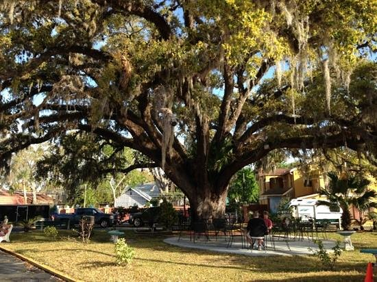 Howard Johnson Inn - Historic ST. Augustine FL: 600 + years old Live Oak tree on the ground of the HoJo