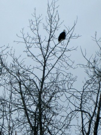 Alaska Wildlife Conservation Center: Bald Eagle - not part of conservation center