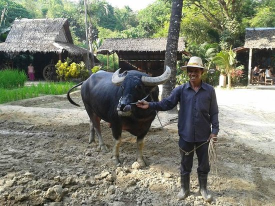 Siam Safari:                   Water Buffallo ploughing