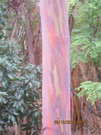 Na Aina Kai Botanical Gardens:                   Rainbow mahogany