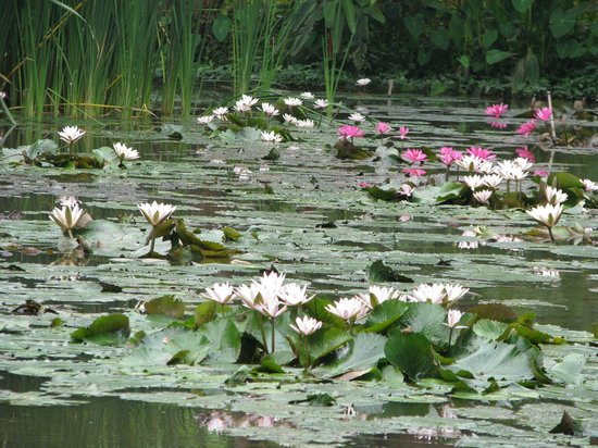 Maison Dalabua Hotel:                                     Pond View, a ' Monet Moment!!'