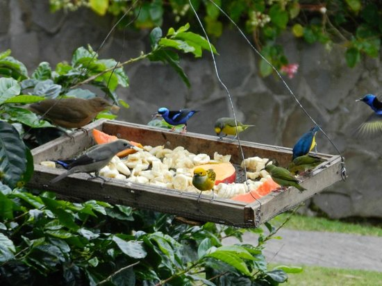 La Montana y el Valle Coffee Estate Inn: The bird feeder provided hours of enjoyment every day