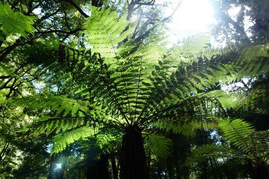 Foris Eco-Tours:                   Beautiful Tree Fern