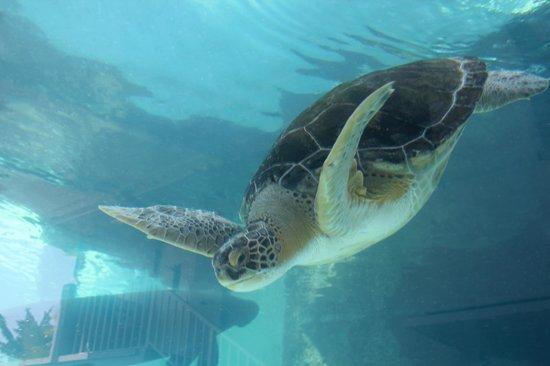Sea Turtle Picture Of Mote Marine Laboratory And