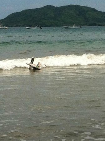 Hotel Tamarindo Diria:                   Pelican at beach