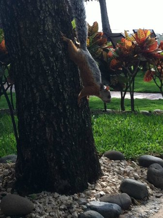 Hotel Tamarindo Diria:                   Giant friendly squirrels