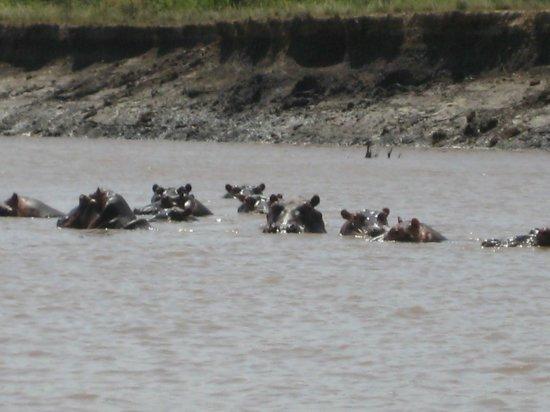 Saadani Safari Lodge River Safari:                   Hippo family, Wami Rvier