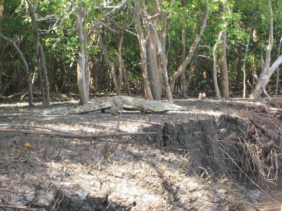 Saadani Safari Lodge River Safari:                   2 metre croc sunbathing at Wami River